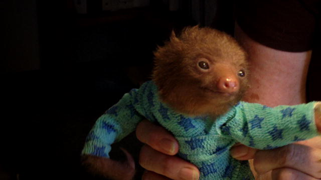 Seriously, it's just an hour of high definition footage of baby animals, usually kittens and puppies, but occasionally other animals, like this adorable sloth. Everyone in the television business who didn't think of this idea probably justifiably thinks of themselves as dumb.