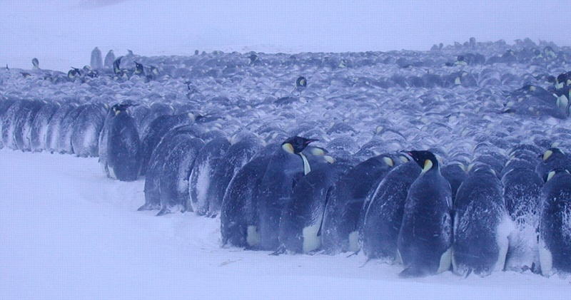 emperor-penguins-freezing