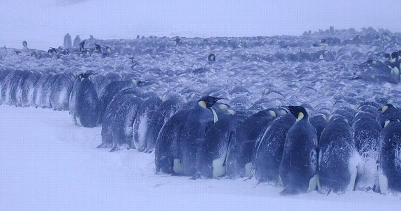emperor-penguins-freezing