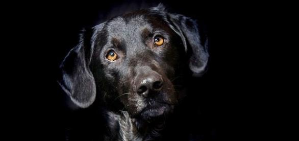 lulu-the-black-labrador-was-fired-by-the-cia-as-not-being-interested-in-her-explosive-detection-training-image-credit-pixabaycc0_1641569